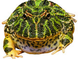 Horned Frog, South America Photographic Print by David M. Dennis