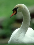 Mute Swan, Portrait, Austria Photographic Print by Olaf Broders