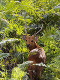 Hog Deer, Male in Dense Ferns, Assam, India Photographic Print by David Courtenay