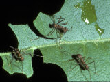 Leaf-Cutter Ants, Near Chilemata, Costa Rica Photographic Print by David M. Dennis
