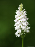Common Spotted Orchid, Albino Version, UK Photographic Print by David Clapp