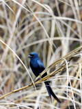 Drongo, Perching on Dry Grass, Assam, India Photographic Print by David Courtenay