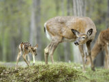 Whitetail Deer, Fawn Approaches Doe It Thinks is Its Mother Photographic Print by Daniel J. Cox