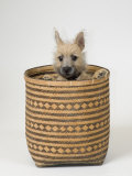 Terrier, Puppy in Basket Photographic Print by David M. Dennis