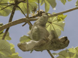 Three-Toed Sloth, Quepos, Costa Rica Photographic Print by David M. Dennis
