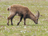 Ibex, Young Male Grazing, Switzerland Photographic Print by David Courtenay