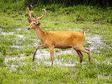 Barasinga or Swamp Deer, Male Deer Walking in Swamp, Assam, India Photographic Print by David Courtenay