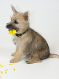 Terrier, Puppy Sitting with Flower Photographic Print by David M. Dennis
