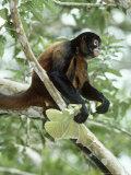 Spider Monkey, Panama Stampa fotografica di Philip J. Devries