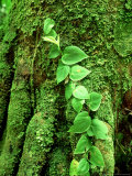 Climbing Vine on Stilt Palm, Amazonian Peru Papier Photo par Paul Franklin