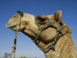 Domestic Camel, Thar Desert, India Photographic Print by Paul Franklin