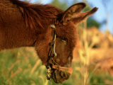 Donkey, Lake Bafa, Western Turkey Photographic Print by Berndt Fischer