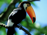 Toco Toucan, Iguacu National Park, Brazil Photographic Print by Berndt Fischer