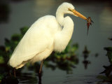 Great Egret, with Fish, Mato Grosso, Brazil Photographic Print by Berndt Fischer