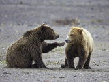 Grizzly Bear, Sub-Adult Siblings Playing, Alaska Photographic Print by Mark Hamblin