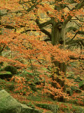 Common Beech, Autumn Colour, UK Photographic Print by Mark Hamblin