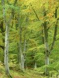 Beech Woodland in Autumn, Strathspey, UK Reprodukcja zdjęcia autor Mark Hamblin
