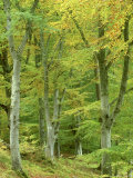 Beech Woodland in Autumn, Strathspey, UK Photographic Print by Mark Hamblin