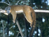Collared Lemur, Female, Dupc Photographic Print by David Haring