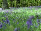 Bluebells Photographic Print by Mark Hamblin