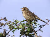 Corn Bunting, Singing from Hawthorn Hedge, UK Photographic Print by Mark Hamblin
