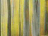 Common Beech, Impression of Woodlands, Scotland Photographic Print by Mark Hamblin