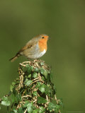 Robin, Adult Perched on Ivy Covered Stump, UK Photographie par Mark Hamblin
