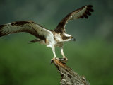 Osprey, Pandion Haliaetus Male on Branch with Fish Scotland, UK Photographic Print by Mark Hamblin