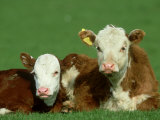 Hereford, Bos Taurus, Close-up of 2 Calves Lying in Meadow, Yorkshire, UK Photographic Print by Mark Hamblin