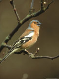 Chaffinch, Fringilla Coelebs Male Singing from Small Branch, S. Yorks Photographic Print by Mark Hamblin