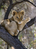 African Lion, Young Cub in Tree, Southern Africa Fotografie-Druck von Mark Hamblin