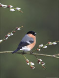 Bullfinch, Male Perched on Pussy Willow, UK Photographic Print by Mark Hamblin