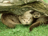European Otter, Lutra Lutra Male & Cub Under Log on Bank Photographic Print by Mark Hamblin