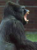 Lowland Gorilla Male Yawning, Showing Teeth Photographic Print by Mark Hamblin
