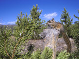 Least Chipmunk on Small Log Showing Habitat, Wyoming, USA Photographic Print by Mark Hamblin