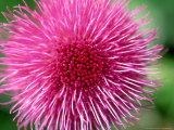 Melancholy Thistle, Cirsium Heleniodes Close-up of Flower Highlands, Scotland Photographic Print by Mark Hamblin