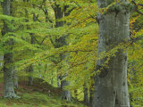 Beech Woodland in Autumn, Scotland Photographic Print by Mark Hamblin