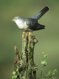 Cuckoo, Cuculus Canorus Male Perched on Post Derbyshire, UK Reproduction photographique par Mark Hamblin