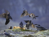 Hooded Crows, and Ravens, Feeding, Norway Photographie par Mark Hamblin