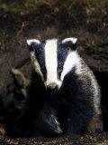 Badger Photographic Print by Mark Hamblin