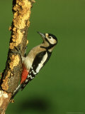 Great Spotted Woodpecker, Portrait Photographie par Mark Hamblin