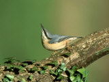 Nuthatch Photographie par Mark Hamblin