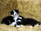 Border Collie Photographic Print by Mark Hamblin