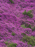 Bell Heather in Flower on Moorland, July, UK Photographic Print by Mark Hamblin