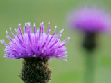 Common Knapweed, Close up of Flower Head, Scotland Photographic Print by Mark Hamblin