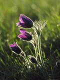 Pasque Flower, Small Group Backlit, Cambridgeshire, UK Photographic Print by Mark Hamblin
