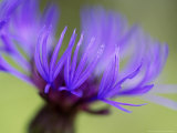 Cornflower, Close-up of Flower Head, Scotland Photographic Print by Mark Hamblin