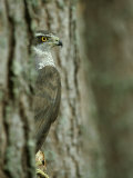 Goshawk, Peering from Between Trees Photographic Print by Mark Hamblin