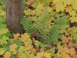 Autumn Colour. Variety of Maples (Acer Sp.), Michigan Upper Peninsula, USA Photographic Print by Mark Hamblin