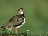 Lapwing, Adult on Grassy Hummock Scotland, UK Photographie par Mark Hamblin